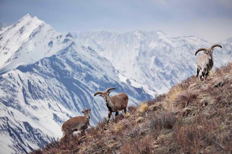 wild sheep nepal