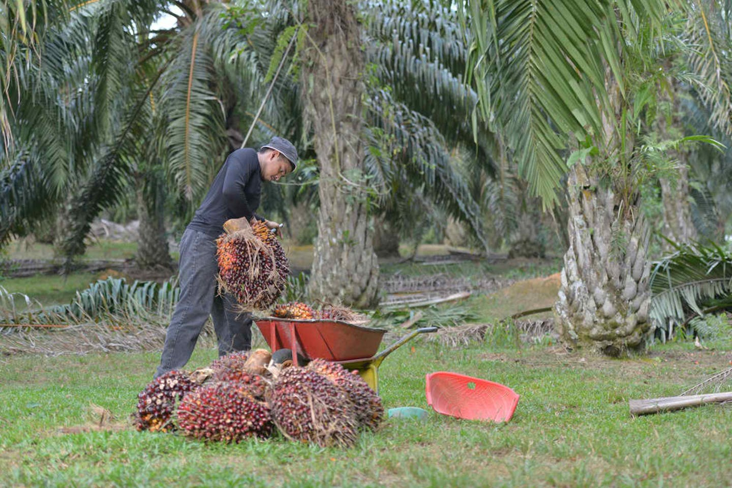 palm oil man working