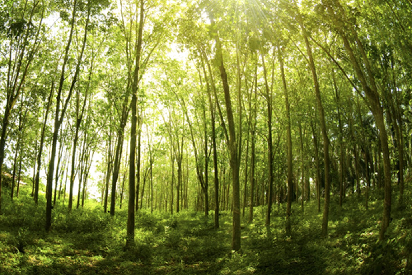 Malaysian forest of rubber trees
