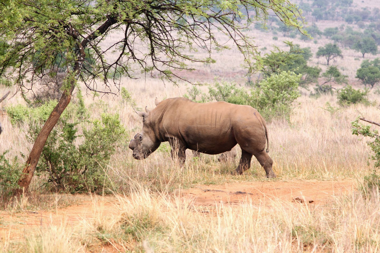 dehorned rhino south africa