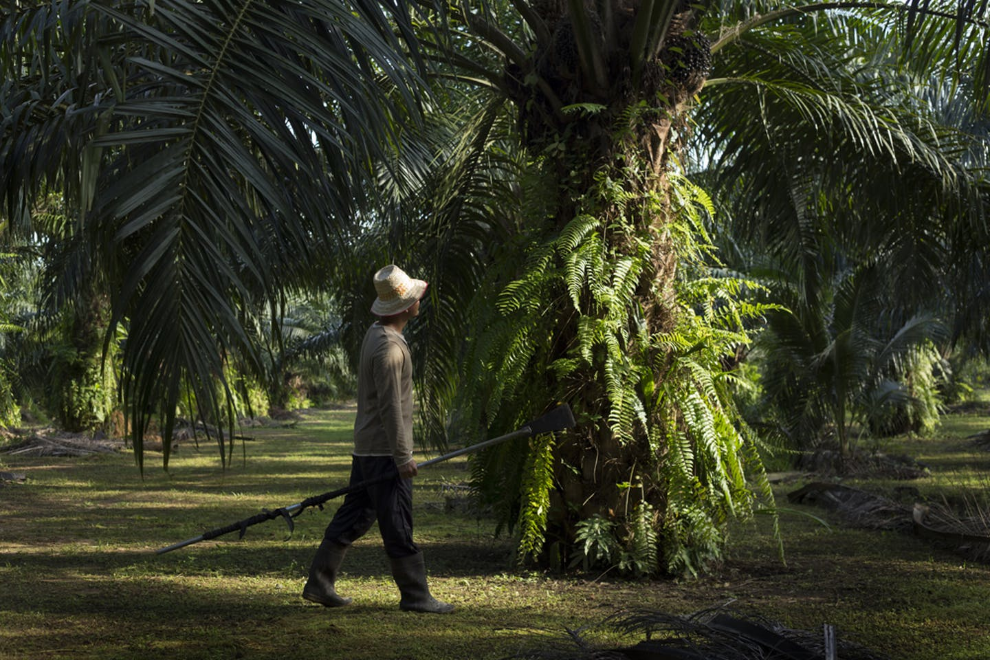 palm oil smallholder