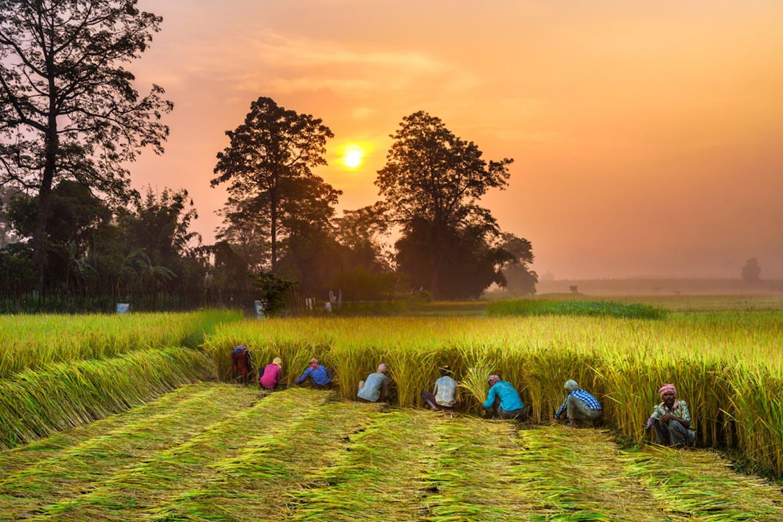 nepal rice field