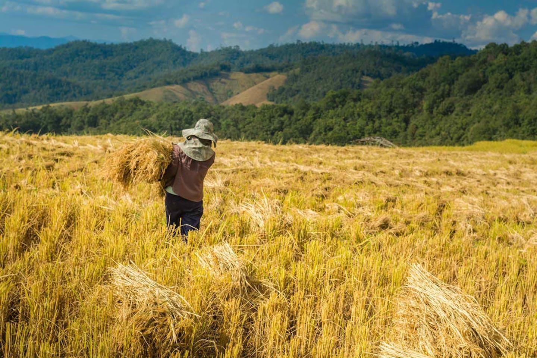rice field th