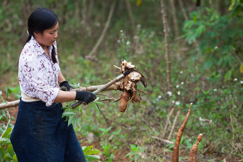 farmer harvests cassava