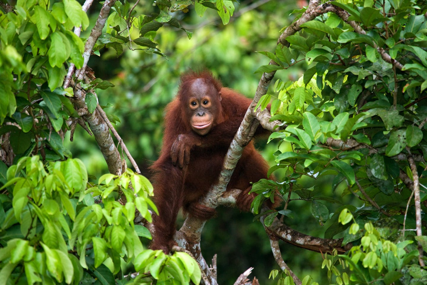 orang utan indonesia rainforest
