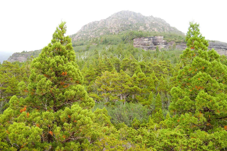 pine forest tasmania