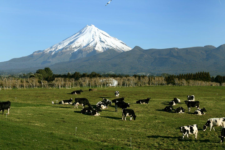 mountain nz cattle