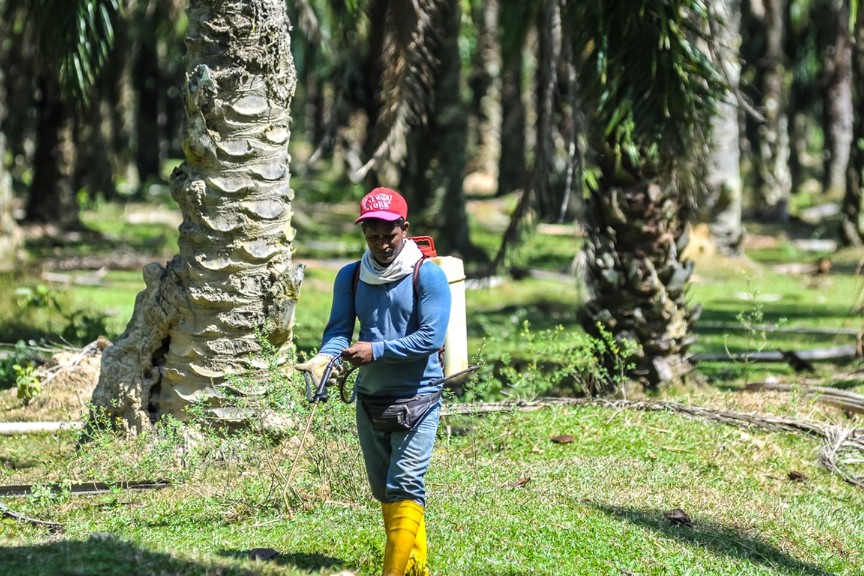 palm oil worker pesticide