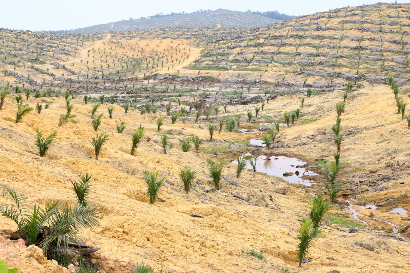 palm oil saplings deforested land