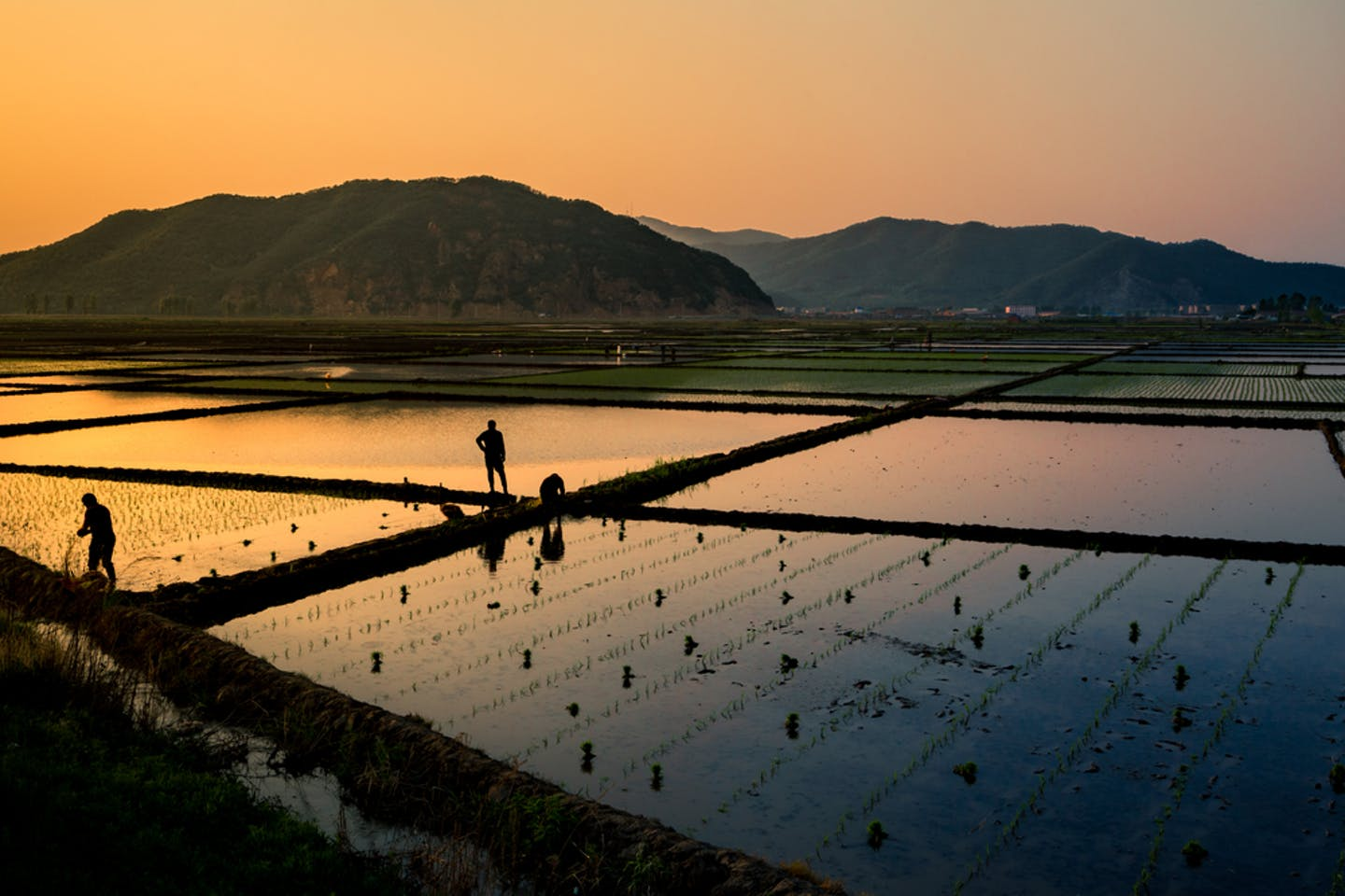 china rice field sunset