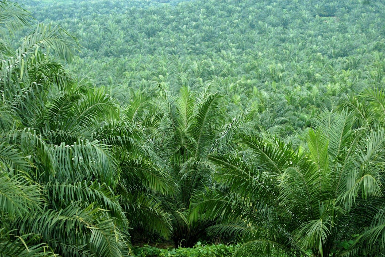 oil palm estate malaysia green