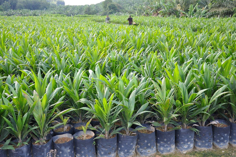 palm oil saplings
