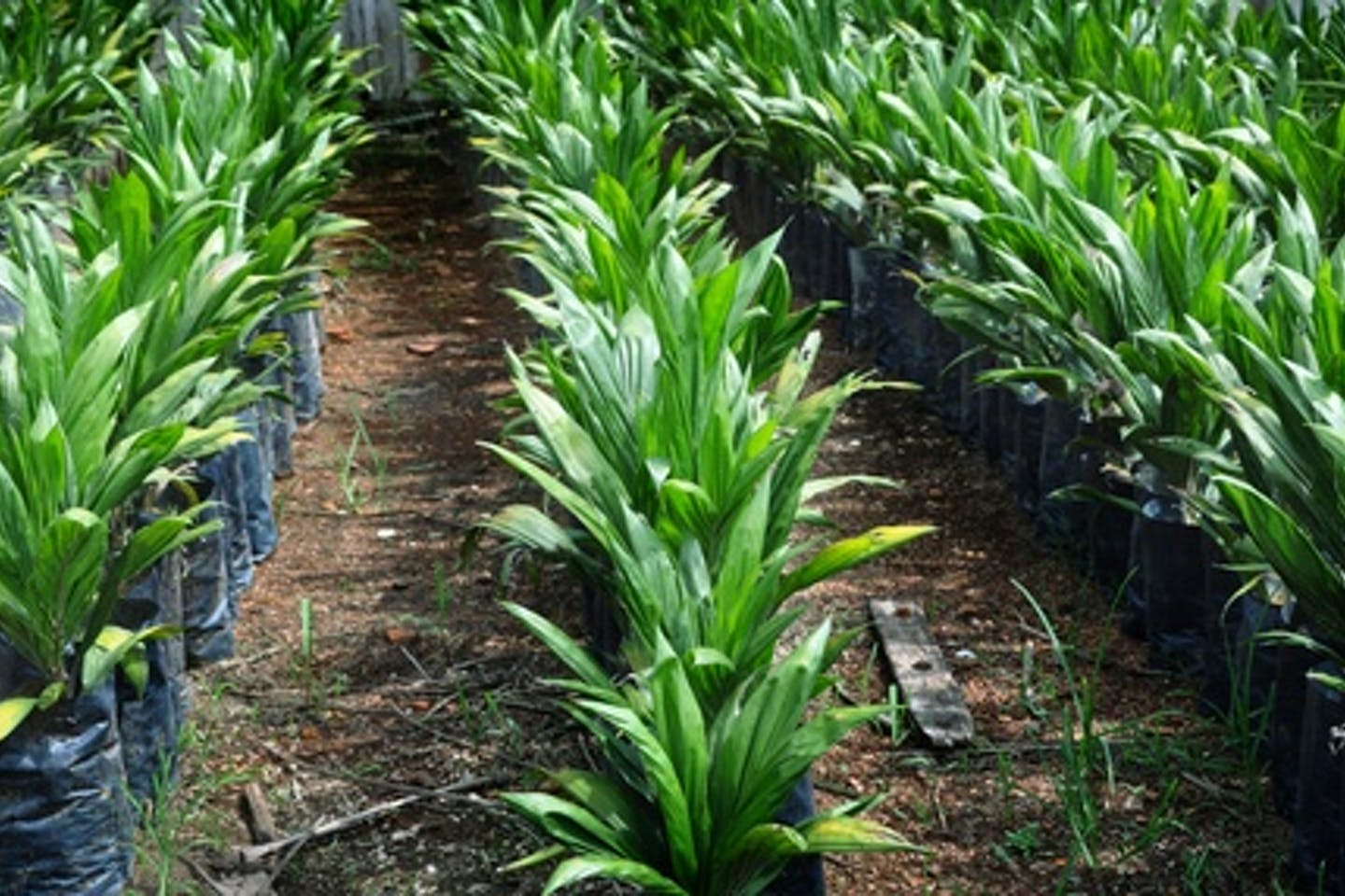 palm oil nursery
