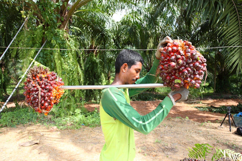 Smallholder farmer in palm oil plantation