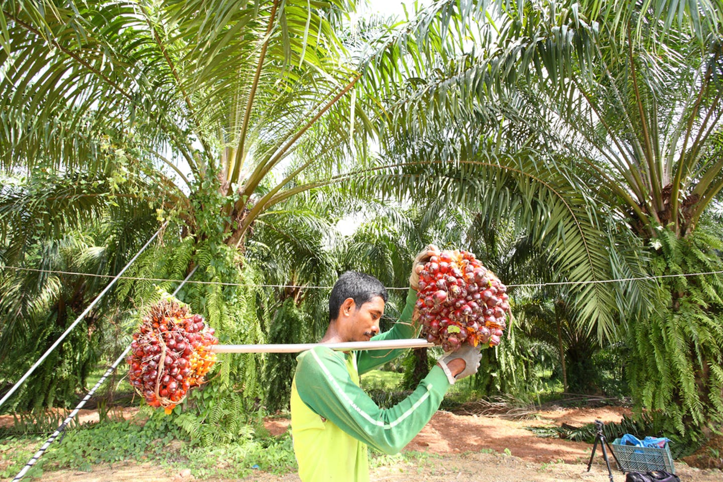 oil palm worker fresh fruit bunches