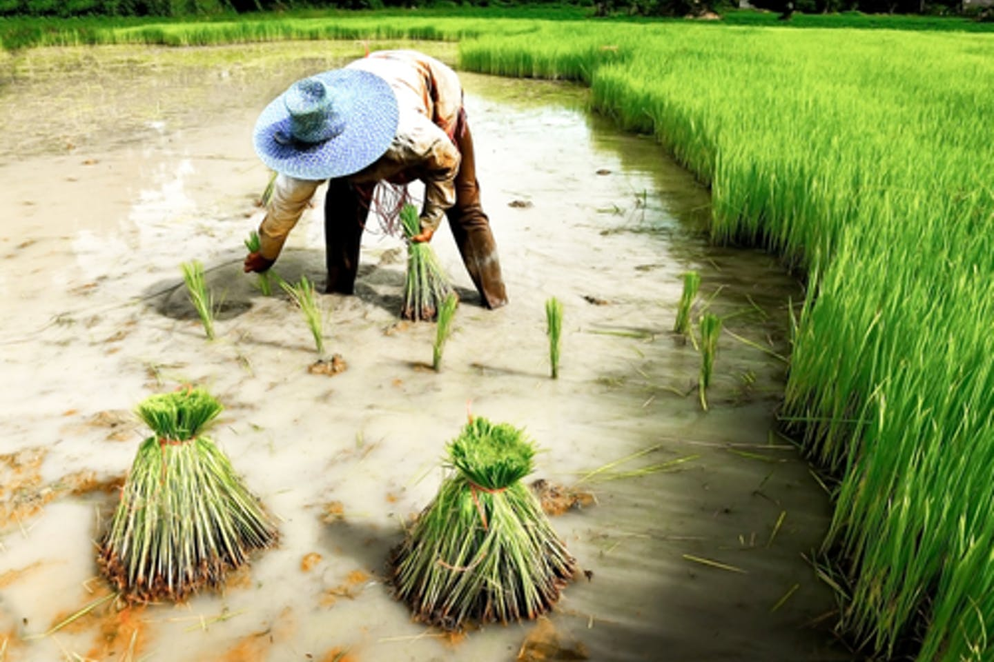 Rice paddy farmer in Thailand