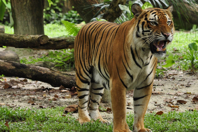 sumatran tigers forest fires