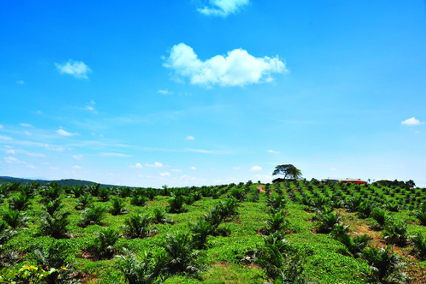 Palm oil plantation