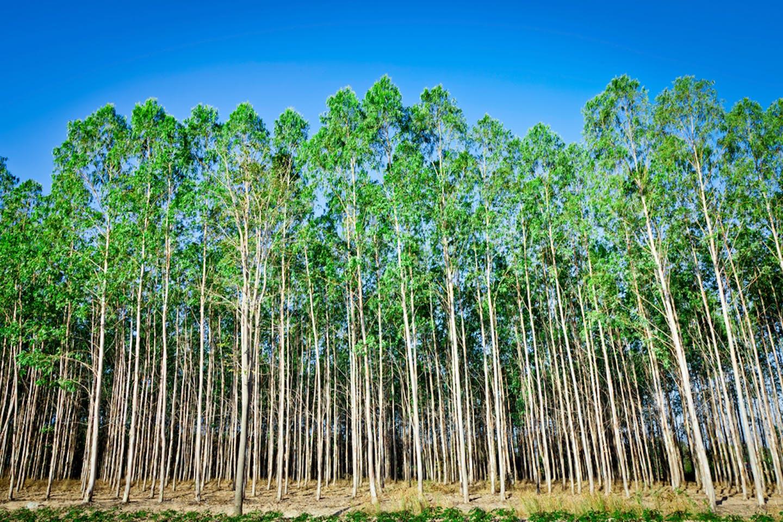 eucalyptus plantation