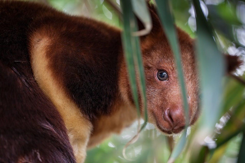 Tree kangaroo peek a boo