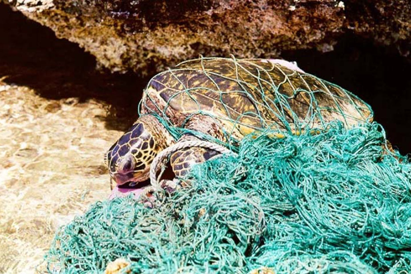 Turtle entangled in ghost net