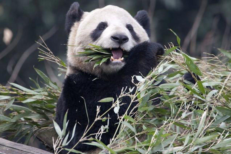 Panda from Chengdu, China