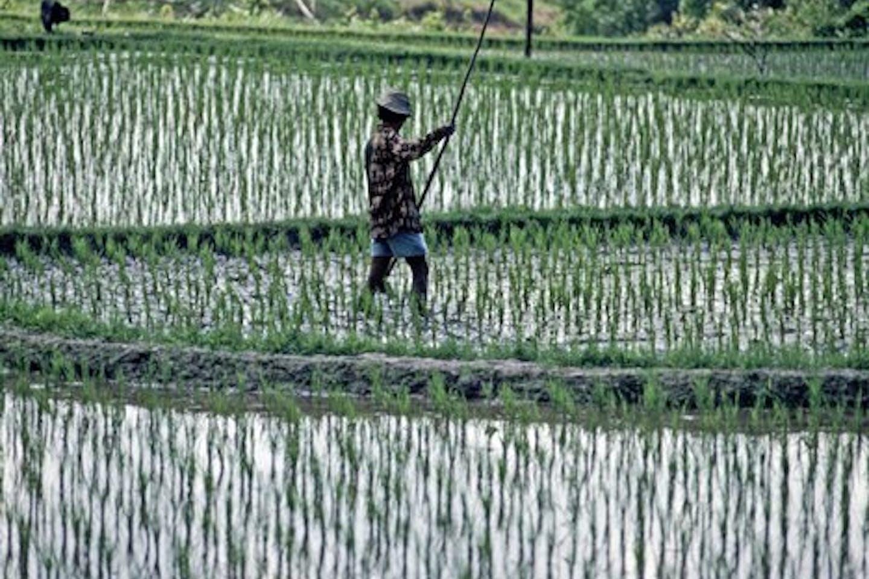 Ubud rice farmer wn_com