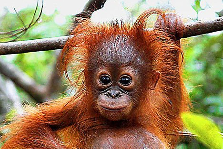 Orangutan freeonlinepicture_net