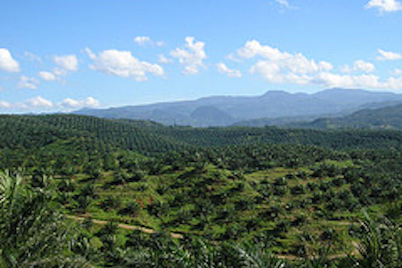 Oil palm plantation in Bogor