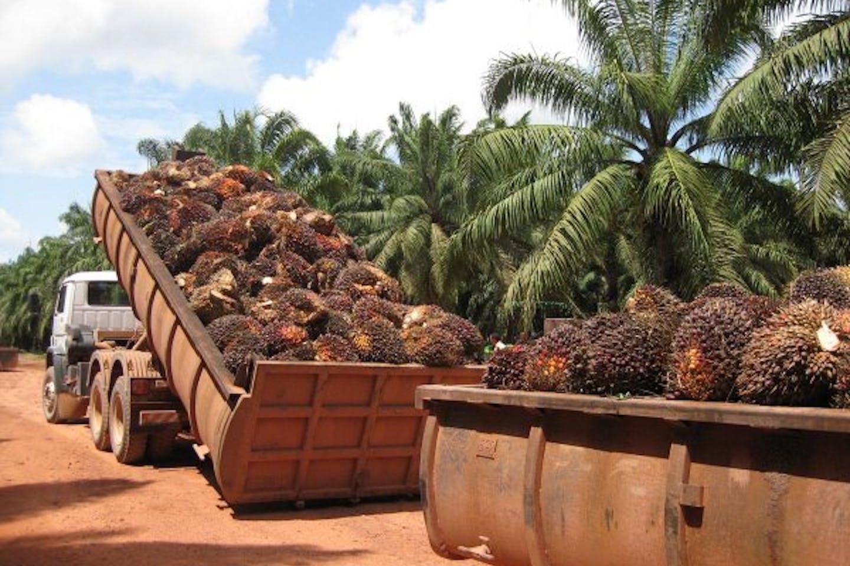 oil-palm